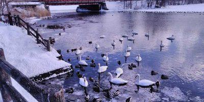 大沼公園の白鳥
